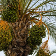 Detail of palm tree with dates — Stock Photo