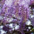 Wisteria flowers - Stock Photo