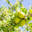 Argfruit on tree — Stock Photo #23737535