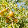 Argfruits on tree — Stock Photo #23737543