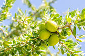 Argan fruit on tree — Stock Photo