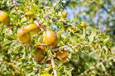 Argan fruits on tree — Stock Photo