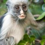 Monkey - African Wildlife — Stock Photo