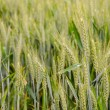 Royalty-Free Stock Photo: Ears of wheat
