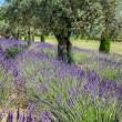Lavender Raw in Provence, france — Stock Photo