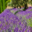 Lavender row in Provence, France — Stock Photo #27625249