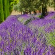 Lavender row in Provence, France — Stock Photo
