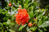 Pomegranate flower — Stock Photo