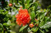 Pomegranate flower — Stock Photo