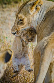 LIoness with her one week cub — Stock Photo
