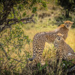 Stock Photo: Cheetahs