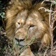 Stock Photo: Lion resting