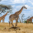 Group of giraffes in the wild — Stock Photo