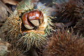Chestnut in its husk — Stock Photo