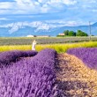 Provence, france, lavender in a row — Stock Photo