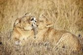 Lioness and her cub. Africa, Kenya, Tanzania, Safari, national park, Serengheti, Masai Mara, savannah, grass, animal, wildlife, — Stock Photo