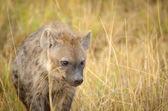 Baby Hyäne in der Savanne — Stockfoto