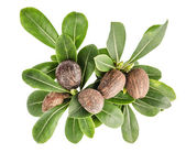 Shea nuts and leaves — Stock Photo