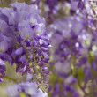 Stock Photo: Wisteria