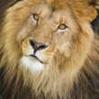 Male lions face  — Stock Photo