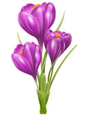 Crocuses — Stock Vector