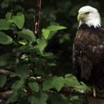 Bald Eagle — Stock Photo #16569919