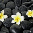 Frangipani flower on black pebbles — Stock Photo