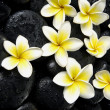 Frangipani on wet black peddles — Stock Photo