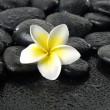 Frangipani on  peddles - Stock Photo