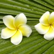 Frangipani on palm leaf — Stock Photo