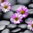 Stock Photo: Gerbera daisy in black stones