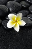 Frangipani flower on black peddles — Stock Photo