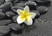 Frangipani flower on black peddle — Stock Photo