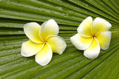 Frangipani on palm leaf — Stock Photo