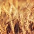 Wheat in sunshine — Stock Photo #16840097