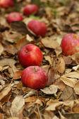падший яблоки и листья — Стоковое фото