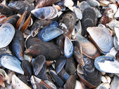 Mussel shells — Stock Photo
