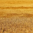Canted field of wheat — Stock Photo