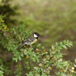Tit on a branch in the garden — Stock Photo #24009177