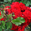 Stock Photo: Branch of red roses and buds