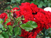 Branch of red roses and buds — Stock Photo