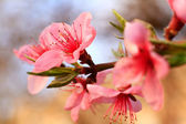 Pink spring flowers are just blooming petals — Stock Photo