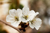White spring flowers are just blooming petals — Stock Photo