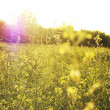 Field in sunshine and sunbeam — Stok fotoğraf