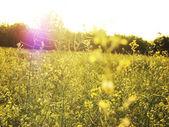 Field in sunshine and sunbeam — Stock Photo