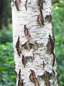 破解桦树皮 — 图库照片