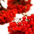 Stock Photo: Red viburnum berries