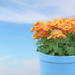 Chrysanthemum flowers in the flowerpot — Stock Photo