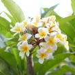 Stock Photo: Frangipani (plumeria) flower blooming