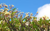 Group of frangipani (plumeria) flower blooming against the blue — Stock Photo